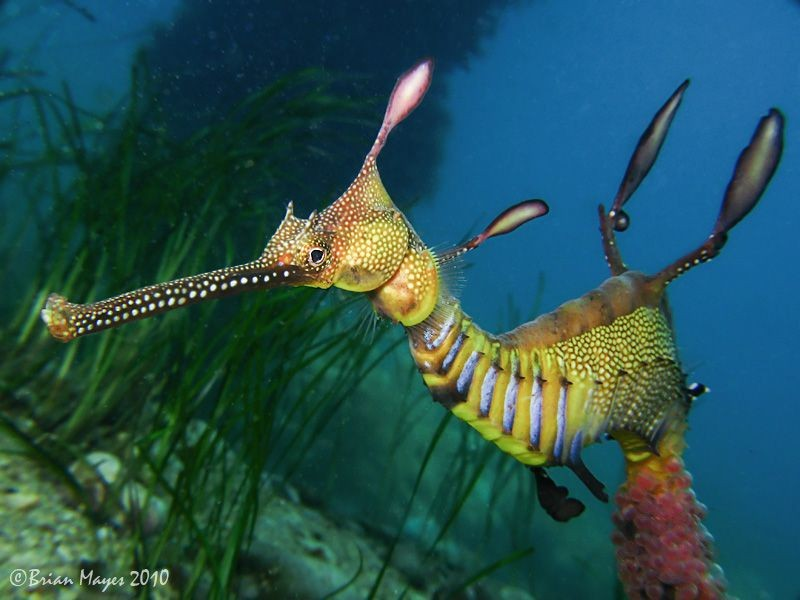 A tengeri sárkány ( Phyllopteryx taeniolatus)