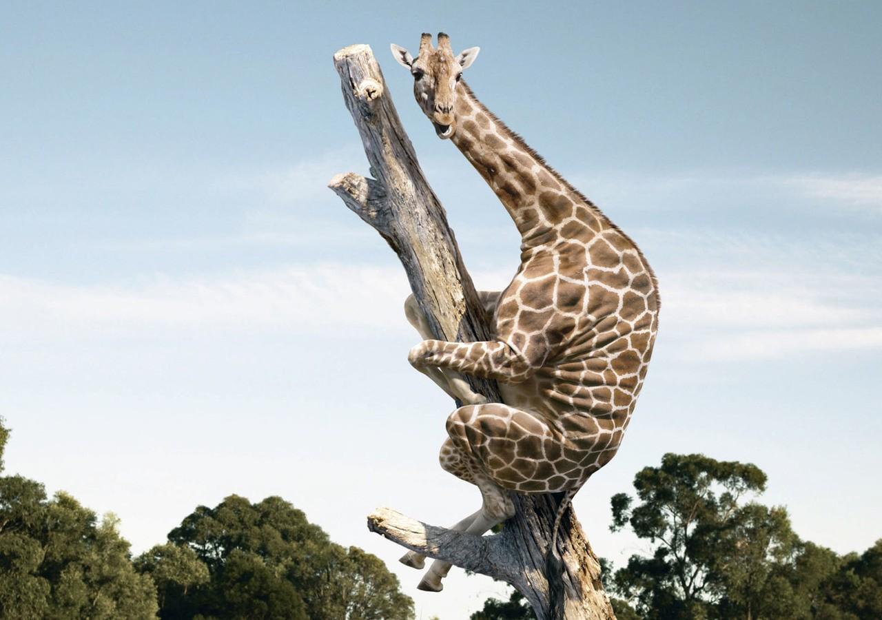 Nem könnyű a zsiráf élet