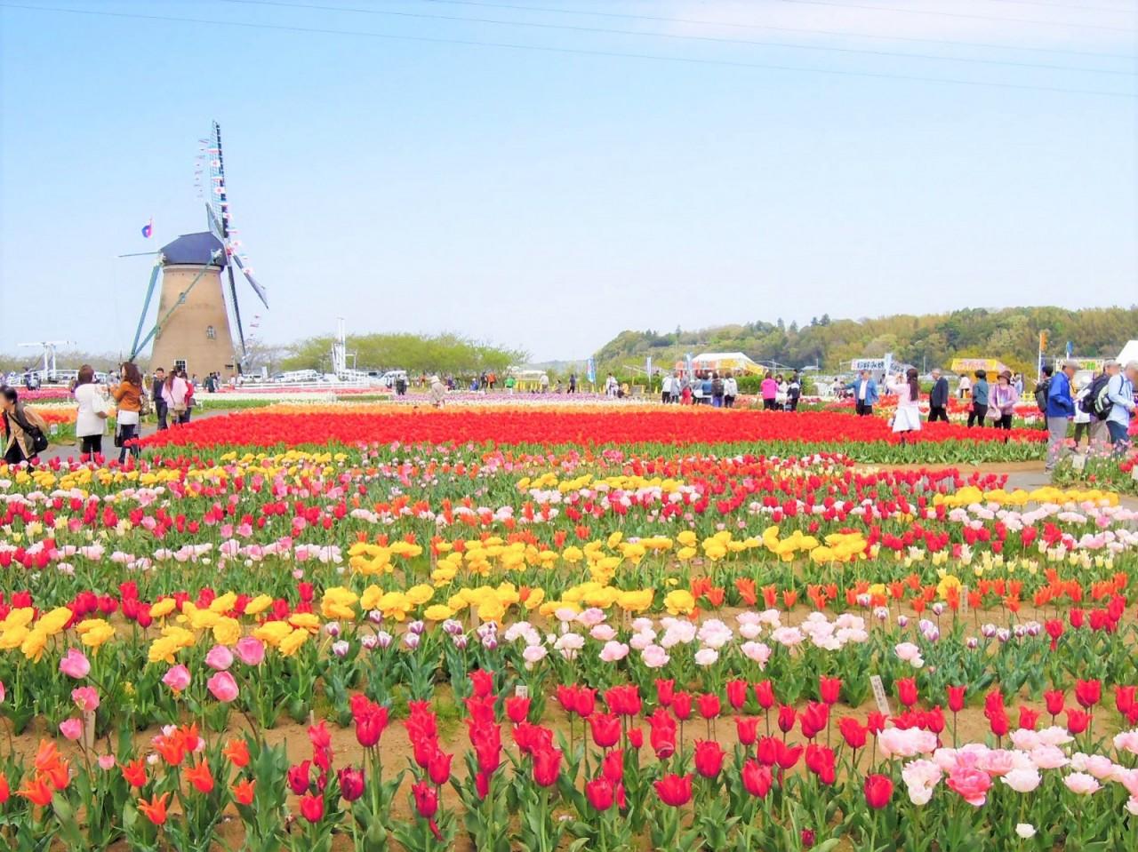 800 000 tulipánt kényszerültek levágni a japán Sakurában