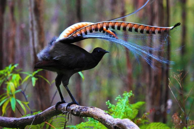 Egy elképesztő madár, amely bármilyen hangot képes leutánozni