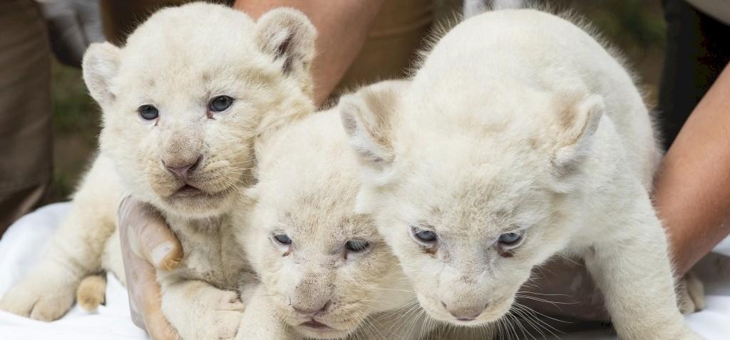 Fehér oroszlánkölykök születtek a Nyíregyházi Állatparkban