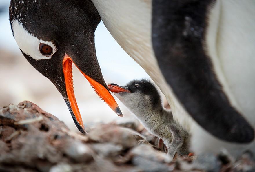 Mikor és miért ünnepjük a pingvineket?