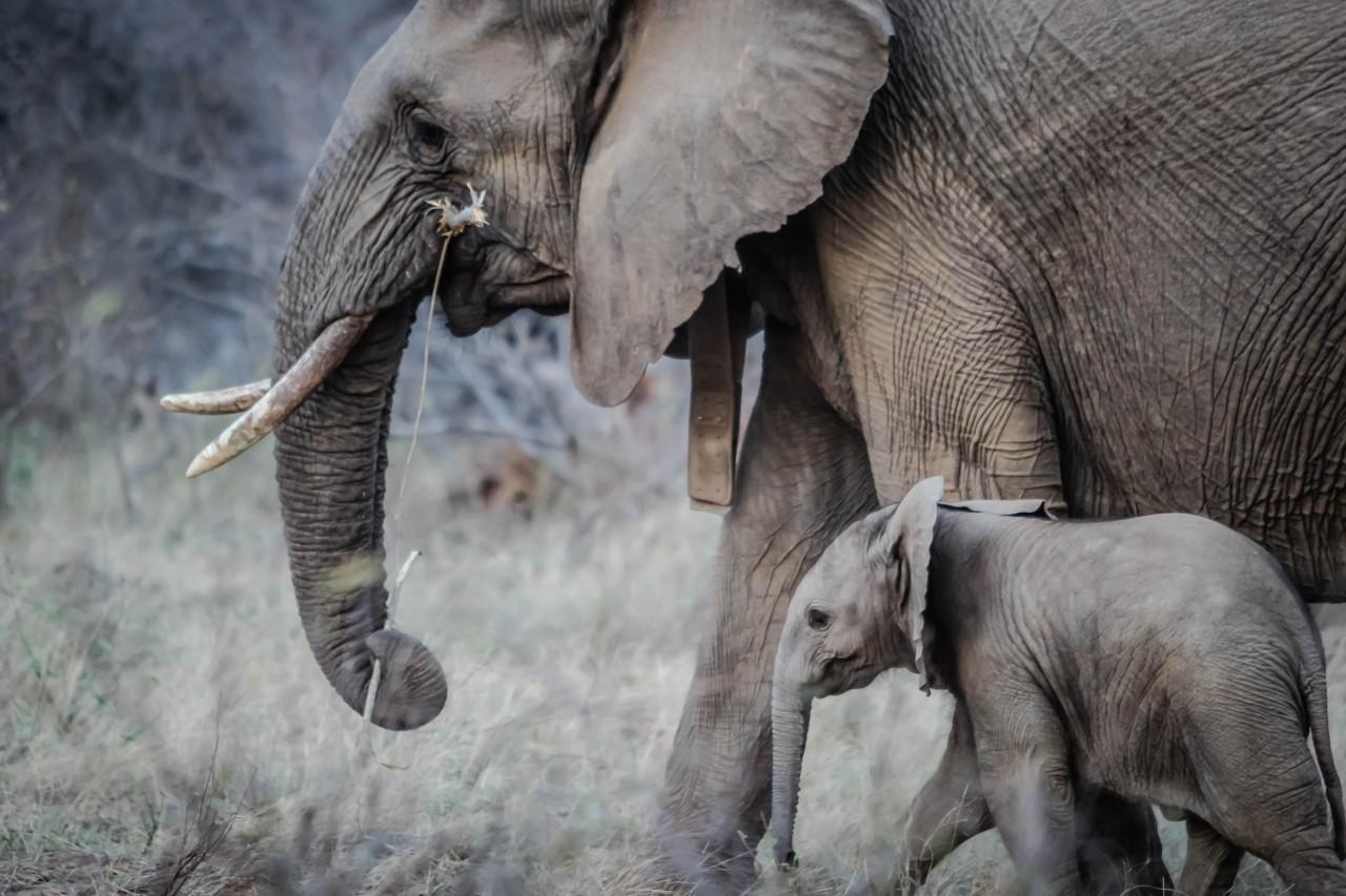 Intelligens elefántok